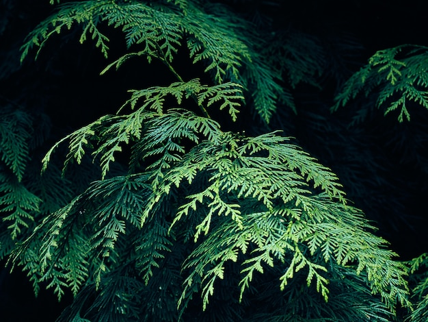 Rami di albero di thuja verde.