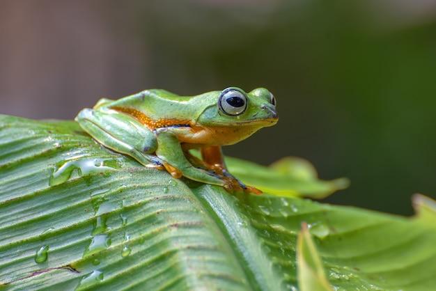 La rana volante dell'albero verde si è appollaiata sul banano