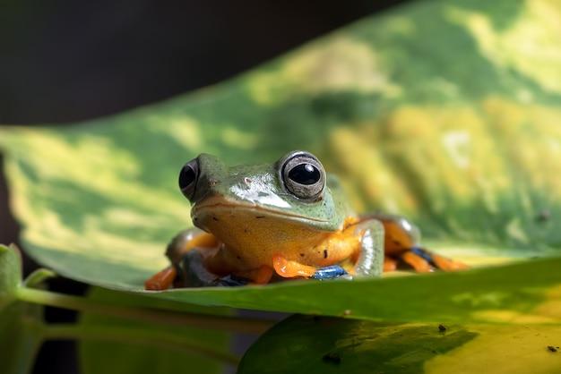 La rana volante dell'albero verde si è appollaiata sulla foglia