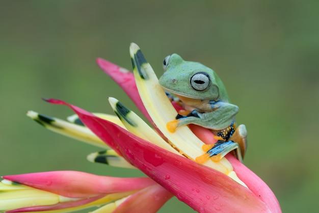 La rana di albero verde si è appollaiata sui petali di un fiore