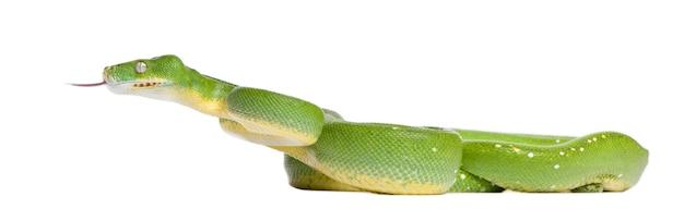 Pitone verde dell'albero che osserva giù - viridis di morelia su un bianco isolato