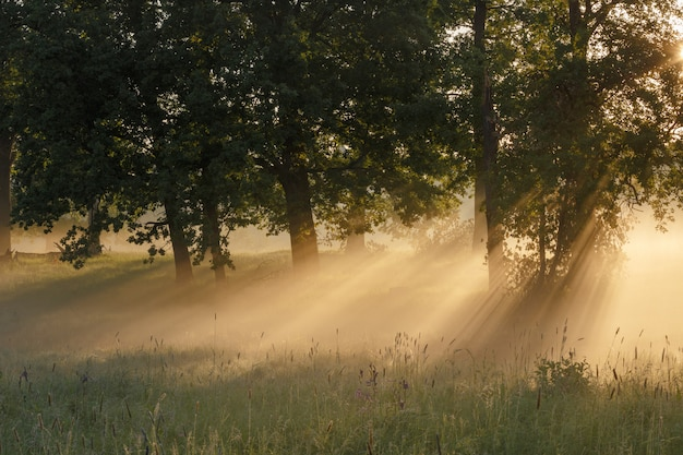 Alberi verdi nella nebbia e nella luce solare