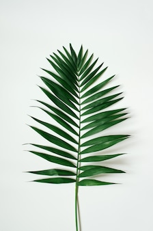 Foglia di palma tropicale verde su fondo bianco.
