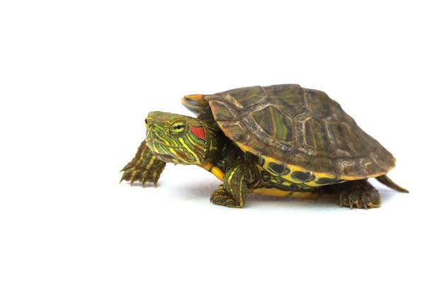 Vista laterale di camminata della tartaruga verde su bianco