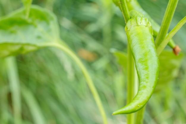 Peperoncini verdi non maturi sul letto del giardino. cibo biologico nostrano, peperoni o peperoni paprika che maturano in giardino. profondità di campo.