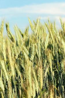 Verde acerbo spighe di grano in estate nel campo agricolo, primo piano con una piccola profondità di campo