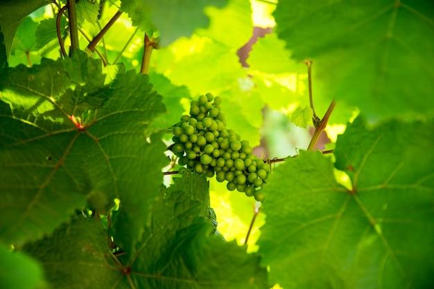 Giovani acini d'uva verdi non maturi in vigna vendemmia anticipata in giardino