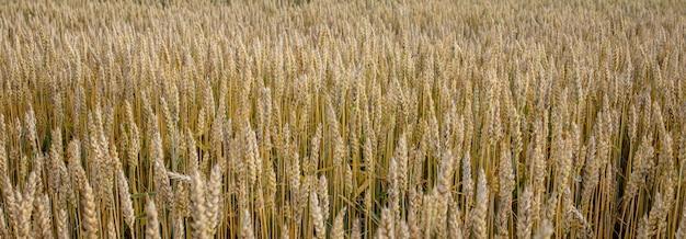 Campo di grano verde. bellissima natura paesaggio al tramonto