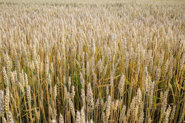 Campo di grano verde bellissima natura paesaggio al tramonto