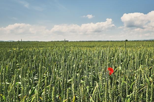 Campo di grano verde, giornata di sole brillante, fioriture di papavero in un campo di grano, messa a fuoco selettiva. cielo estivo azzurro brillante con nuvole