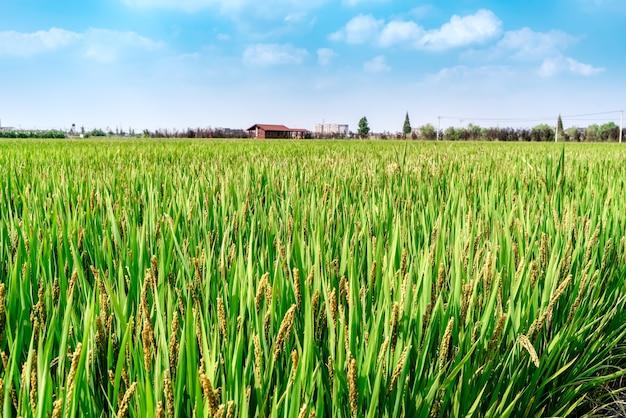 Campo di grano verde e giornata di sole