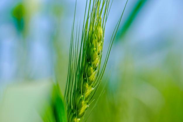 Campo di grano verde