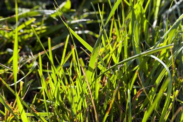 Paesaggio di grano verde