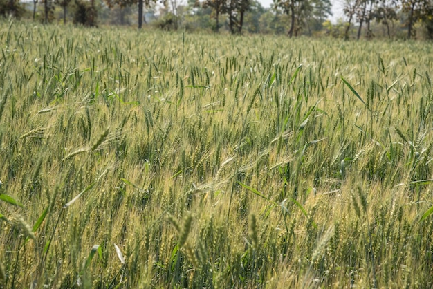 Grano verde al campo dell'azienda agricola biologica