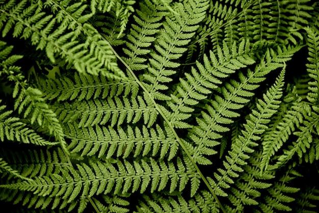 La felce selvatica verde lascia lo sfondo naturale