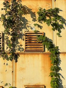Edera selvatica verde che cresce sul portello di ventilazione arrugginito in metallo