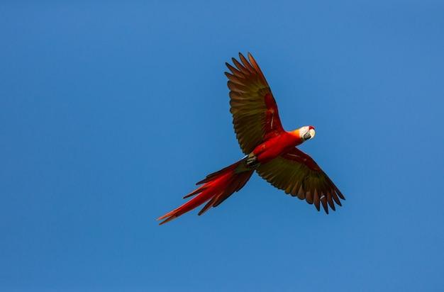 Green-winged macaw ara allo stato brado, costa rica, america centrale