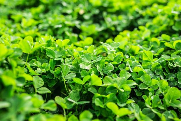 Verde con quadrifogli a tre foglie.