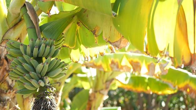 Mazzo di frutta del banano giallo verde. foglie tropicali esotiche alla luce del sole... sole e fogliame.