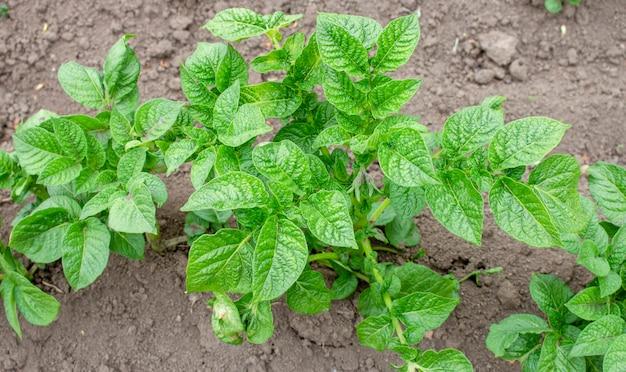 Cespuglio di patate giovani verdi, cura delle piante sulla terra, distruzione di insetti nocivi ed erbacce.