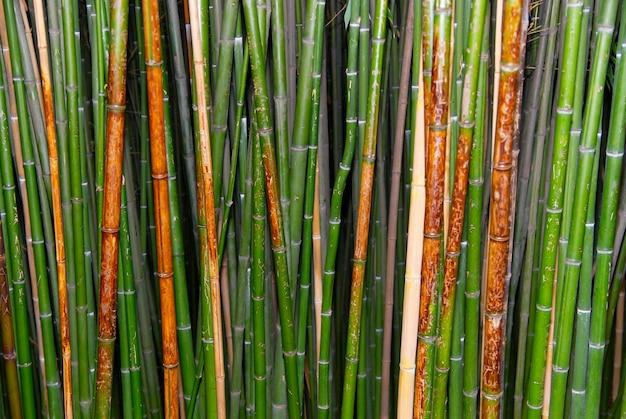 Bambù zen verde.