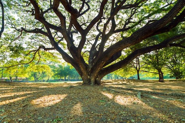 Il verde lascia i rami del grande albero di pioggia che si estende su foglie secche e prati