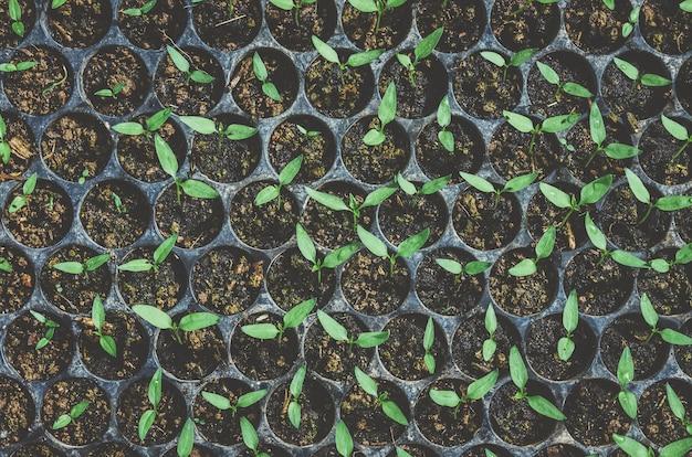 La vegetazione delle giovani piante e delle piantine sta crescendo nel vaso.