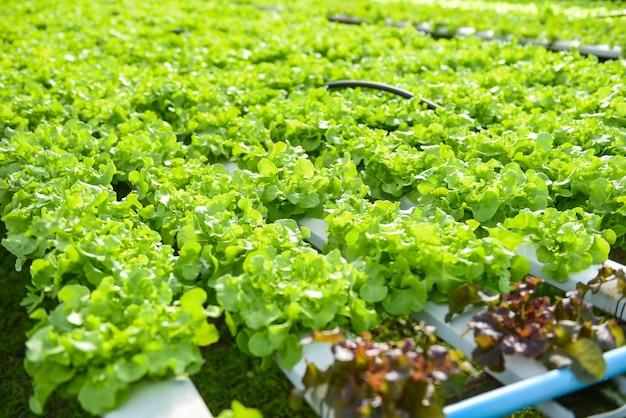 Verdura in serra sul tubo dell'acqua con quercia verde, lattuga idroponica che cresce in giardino
