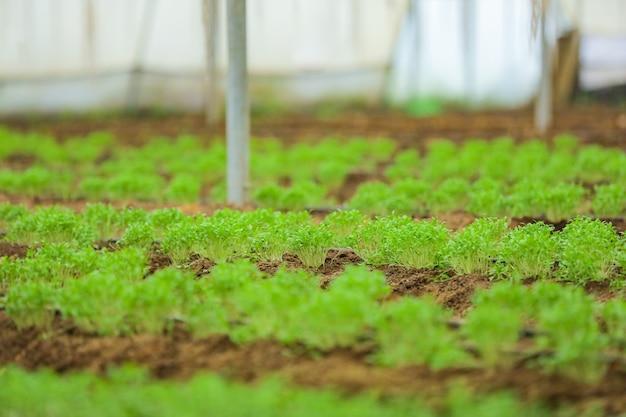 Serra con piante di coriandolo e fieno greco