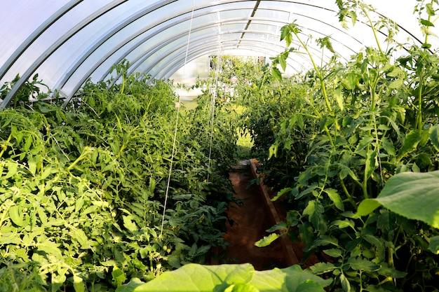 Una serra con pomodori in crescita in una giornata di sole. fattoria in crescita e ortaggi naturali a casa.