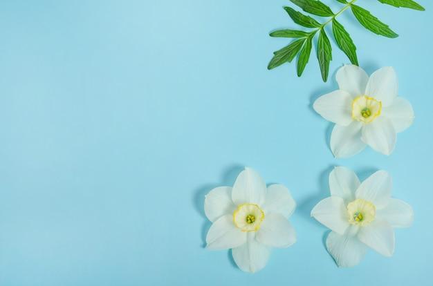 Sfondo biglietto di auguri, fiori delicati narciso su sfondo blu con spazio di copia