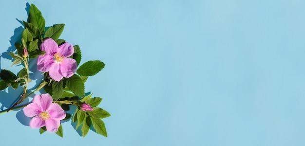 Banner di auguri, fiori di rosa canina delicati su sfondo blu con spazio di copia con luce intensa