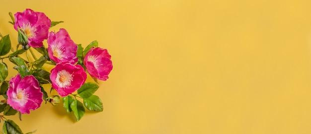 Biglietto di auguri banner per le vacanze primaverili, bellissimi fiori di rosa selvatica su uno sfondo giallo con spazio di copia