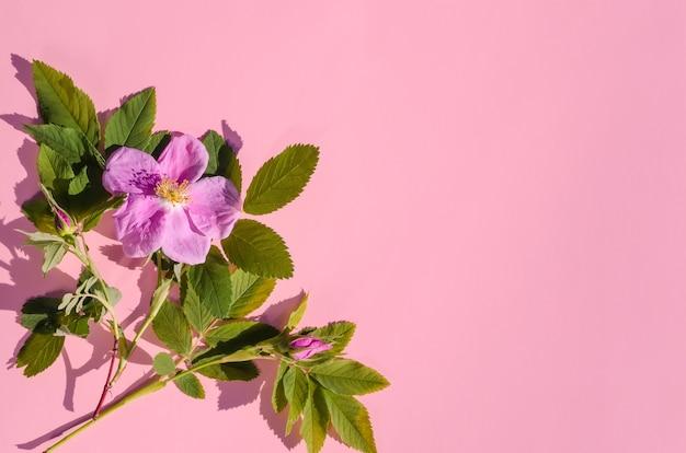Biglietto di auguri, delicati fiori rosa di rosa selvatica su uno sfondo rosa con spazio di copia con luce intensa
