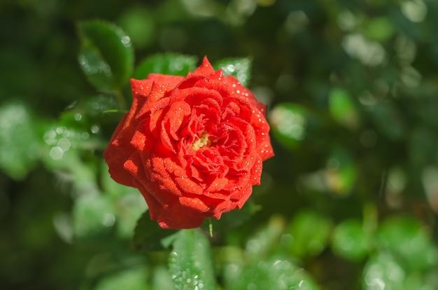 Biglietto di auguri, fiore di rosa rossa delicato sul verde