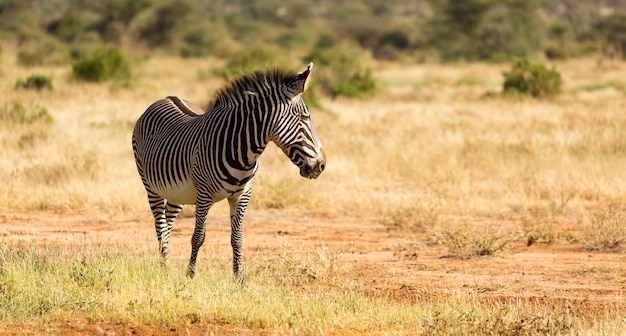Una zebra grigia sta pascolando nella campagna di samburu in kenya