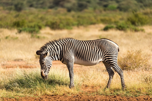 La zebra grevy sta pascolando in campagna