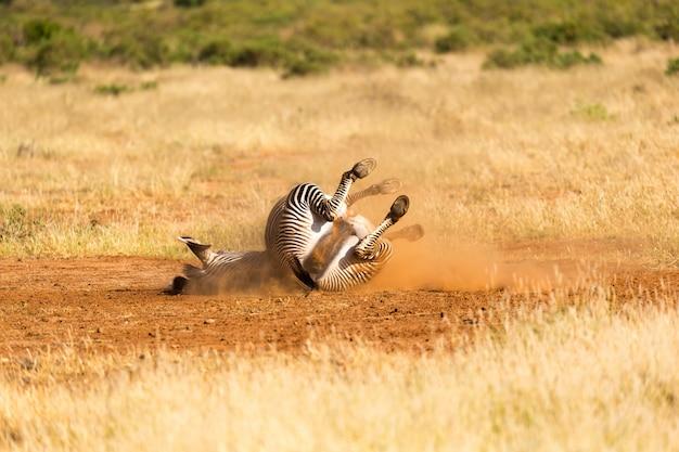 Una zebra grigia giace supina nella polvere
