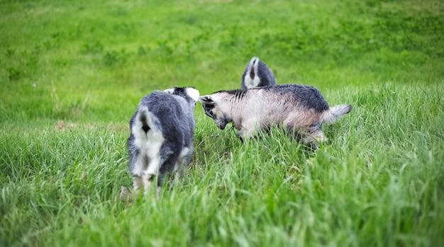 Capre grigie nel campo verde.