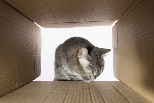 Bellissimo gatto grigio, fa capolino nel carobka di cartone, un curioso animale domestico controlla posti interessanti. copia spazio.