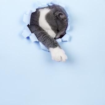 Il gatto grigio bello e carino fa capolino da un buco in carta blu. copia spazio.