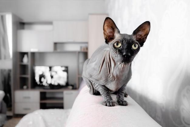 Gatto grigio spynx canandiano seduto rilassante.
