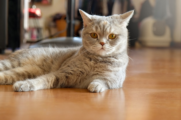Colpo alto vicino del contatto grigio degli occhi di gatto