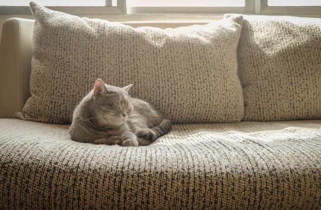Capelli corti del gatto grigio che dormono sul sofà in una mattina