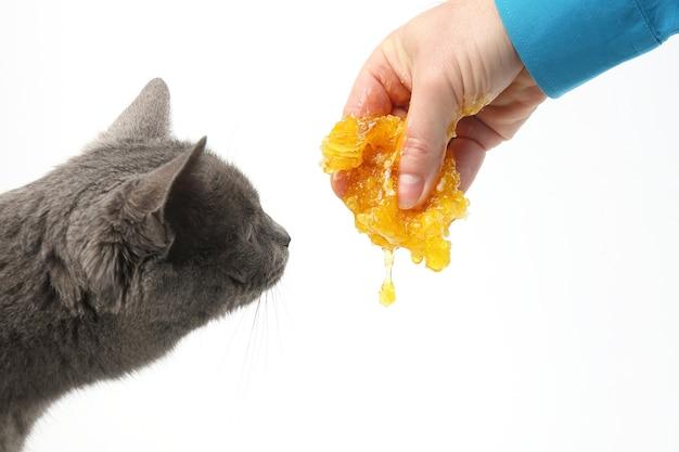 Il gatto grigio sente l'odore del miele che scorre dalla mano dell'uomo