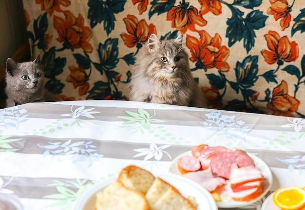 Gatti grigi vicino al tavolo. l'animale domestico lanuginoso vuole rubare del cibo. animali affamati in casa.