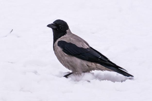 Un corvo grigio in strada in inverno. ul'janovsk.
