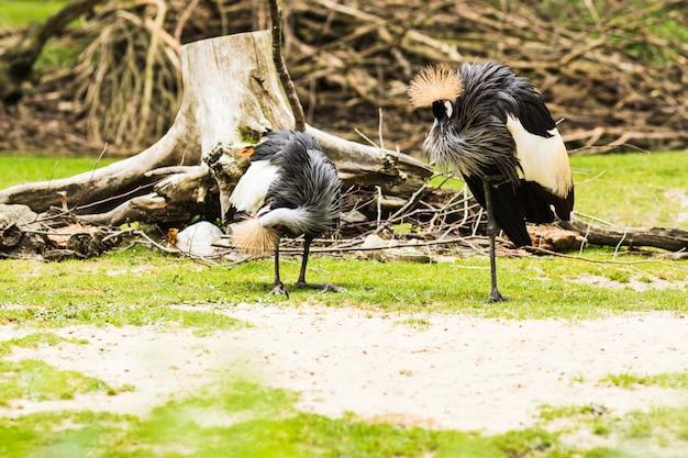 La gru coronata grigia (balearica regulorum) è un uccello esotico con una pettinatura particolare. si trova in africa.