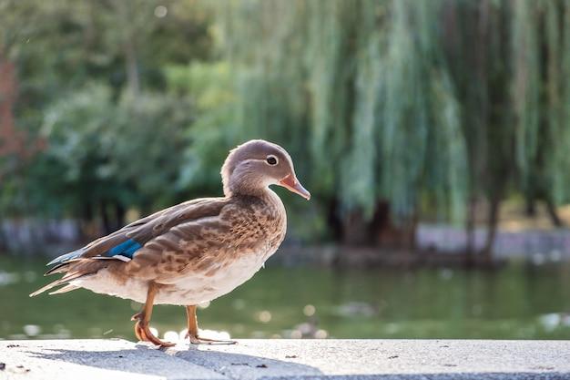 Uccello dell'anatra grigia che sta sulla riva di un lago di estate.