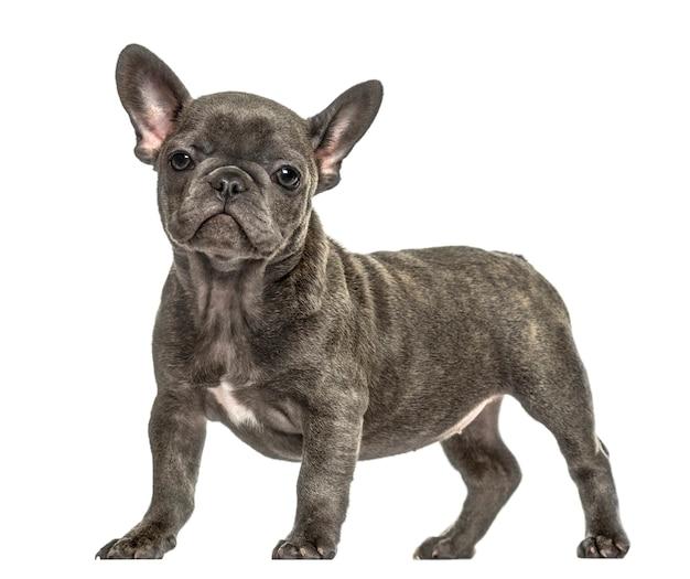 Condizione grigia del bulldog francese, isolata su bianco